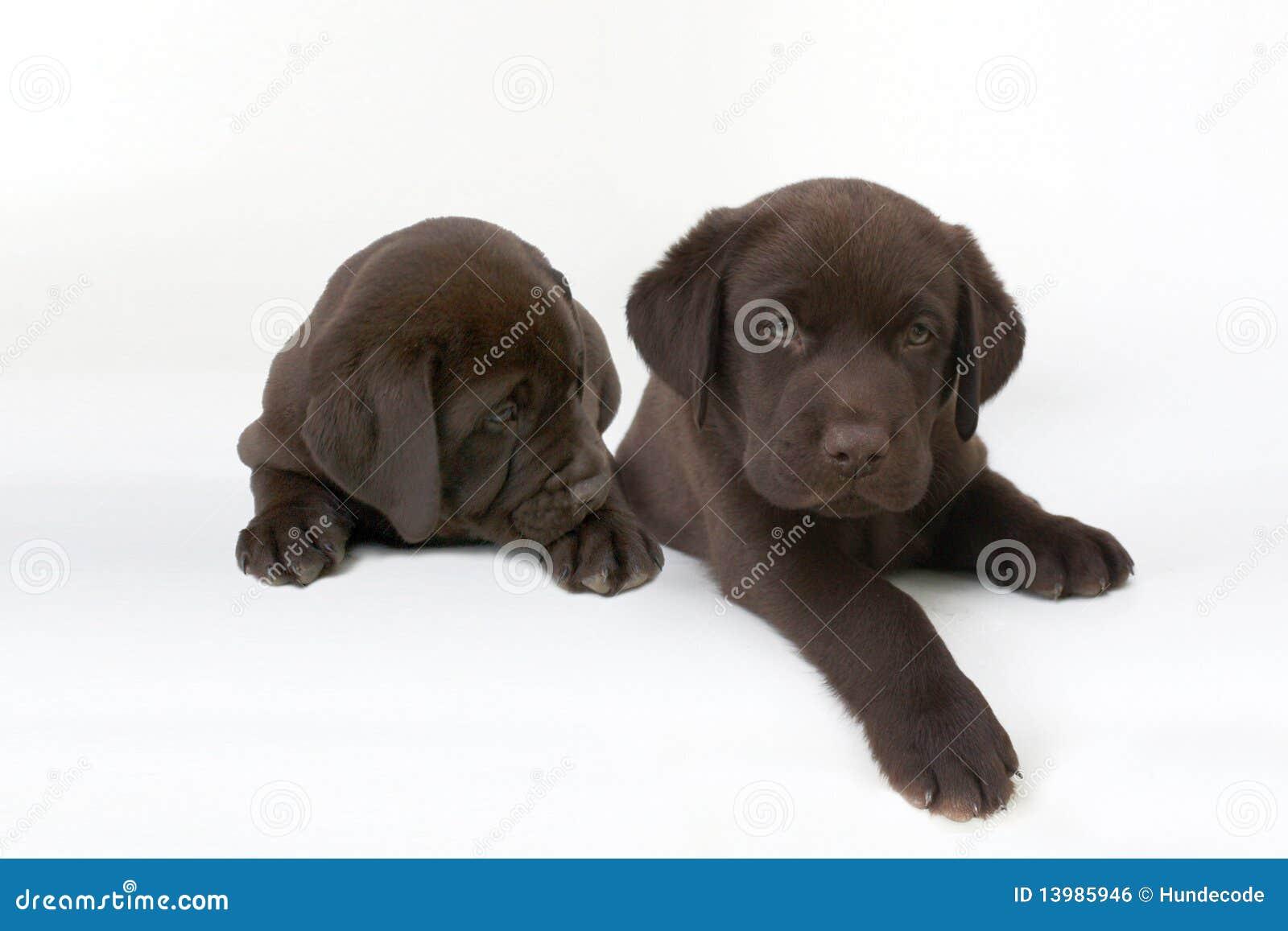 cute chocolate labrador retriever - photo #47