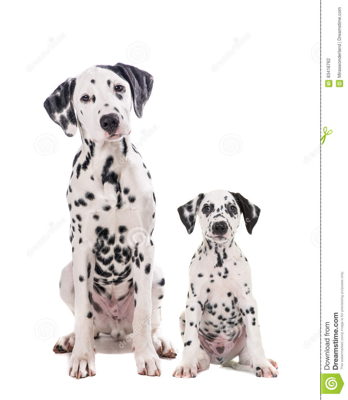 two cute dalmatian dogs father and son stock photo image of puppy