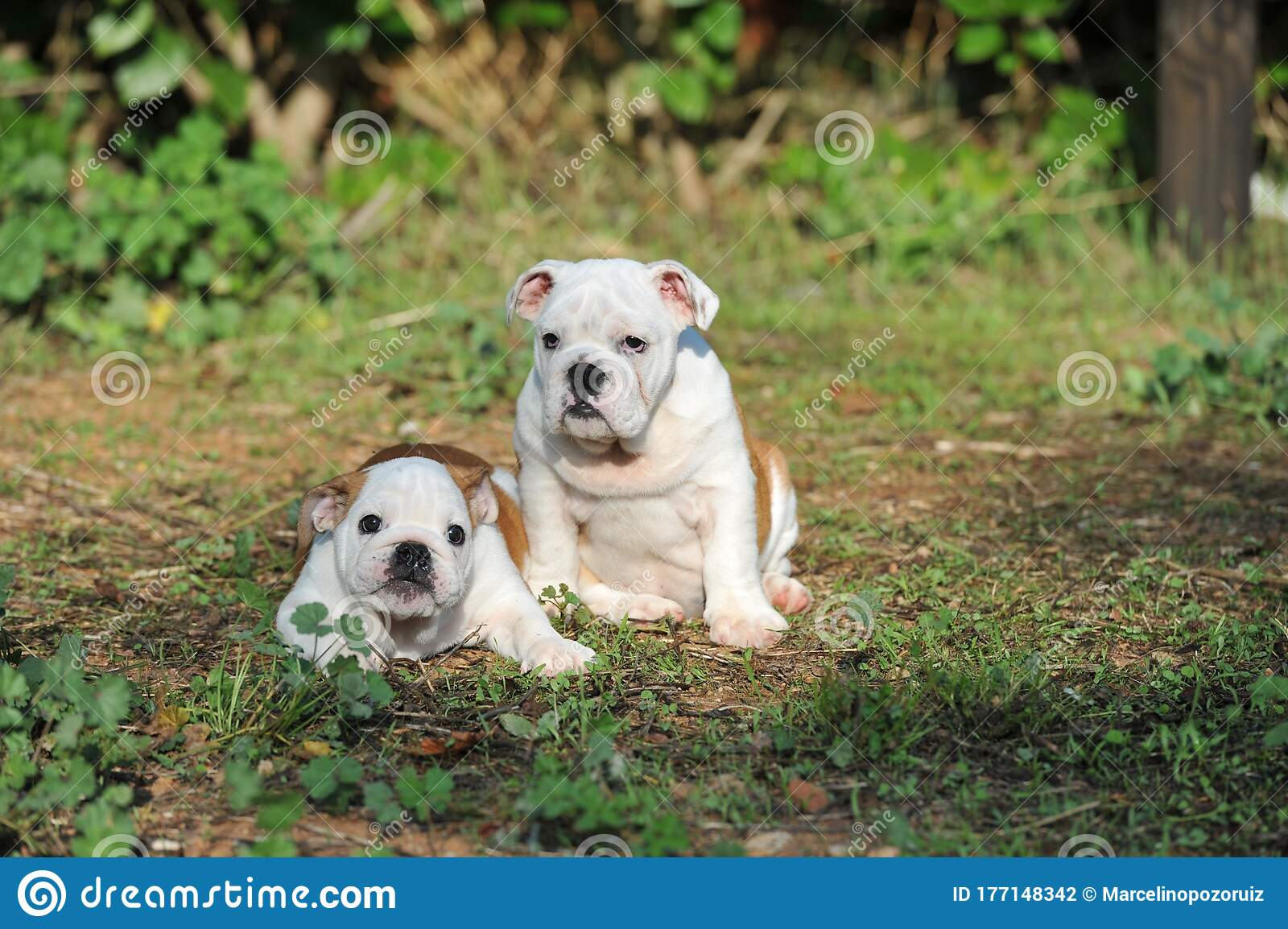 Two Cute English Bulldog Puppy Purebred Dog On The Grass In The Park Stock Photo Image Of Doggy Friends 177148342