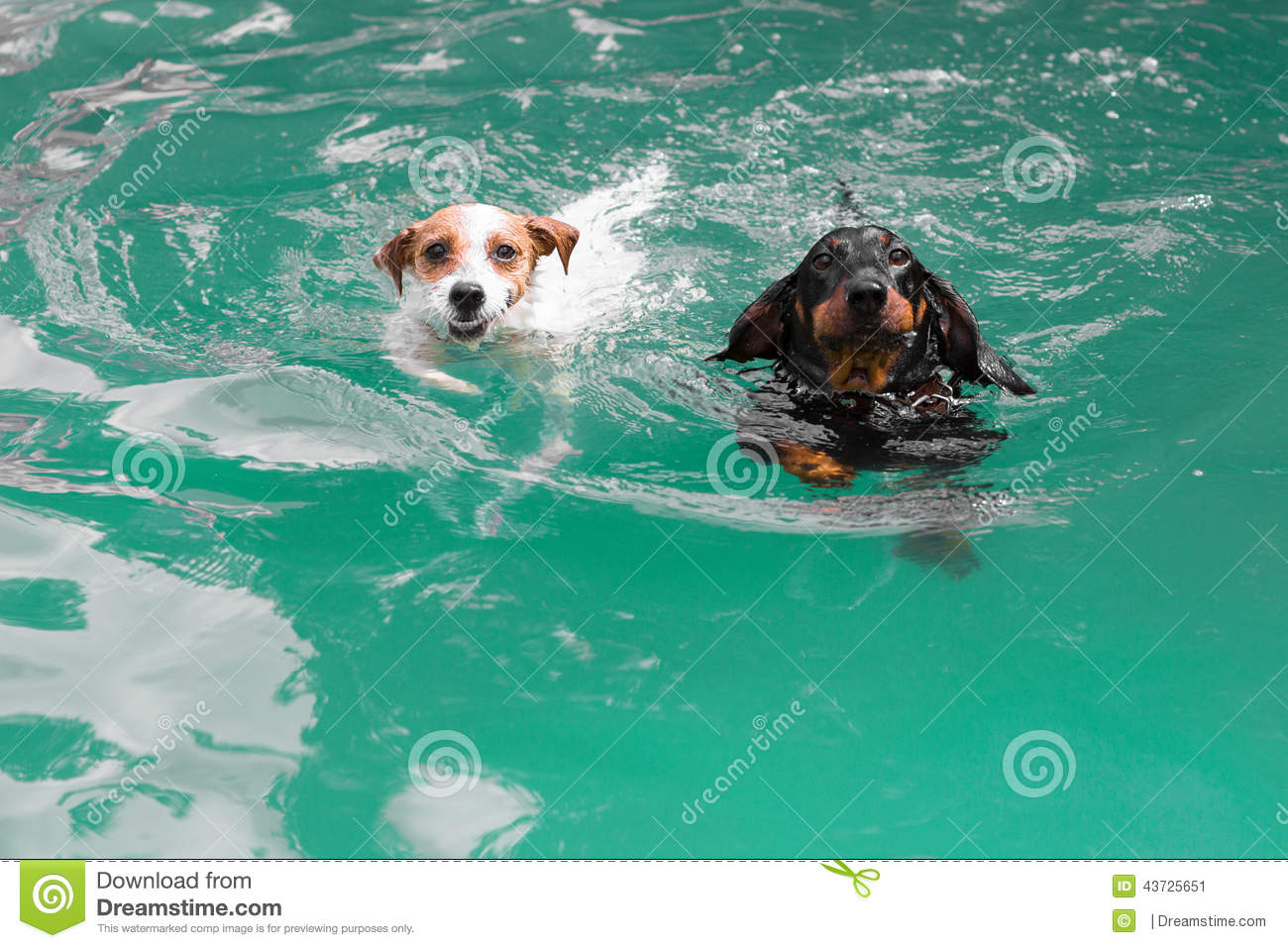 Funny Swimming Pool : Two cute funny dogs swimming stock photo image