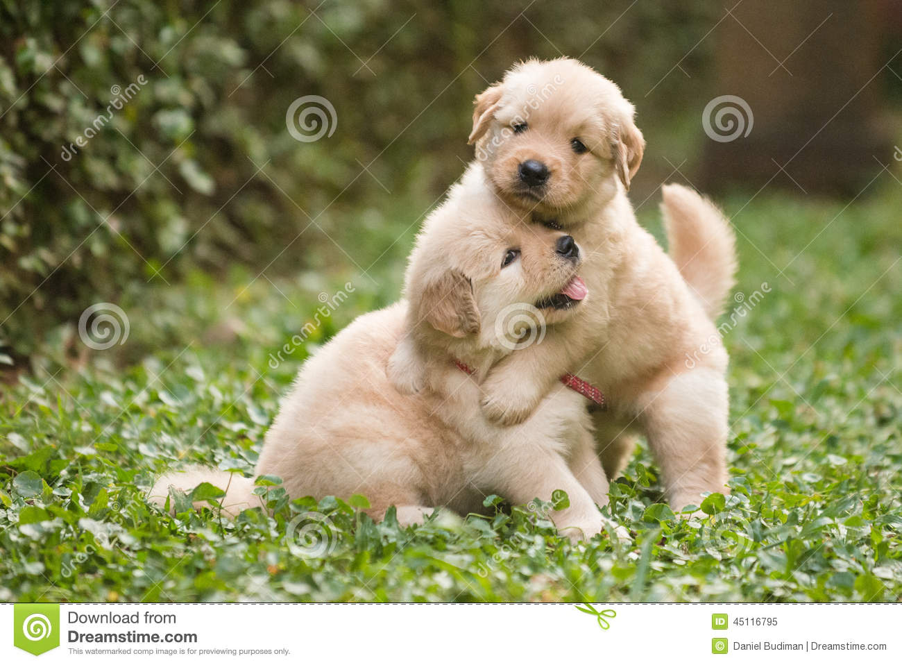 Two Cute Golden Retriever Puppies Playing Stock Photo   Image NIDdmWSU