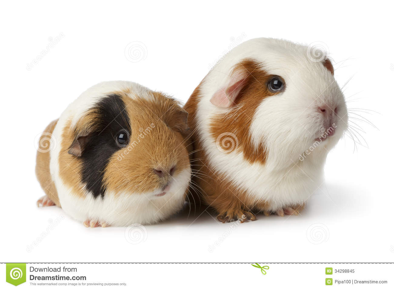 Two cute guinea pigs royalty free stock photo image for Guinea pig pictures free