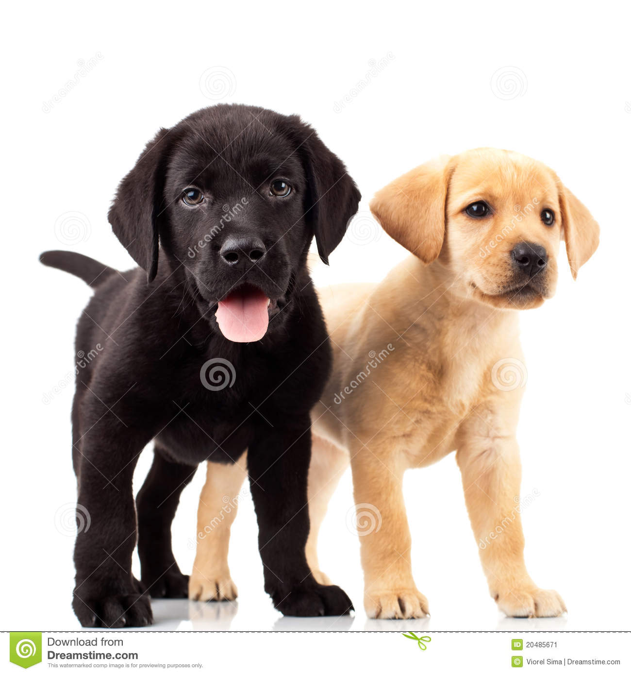 Two cute labrador puppy dogs - one with mouth open and one looking ...
