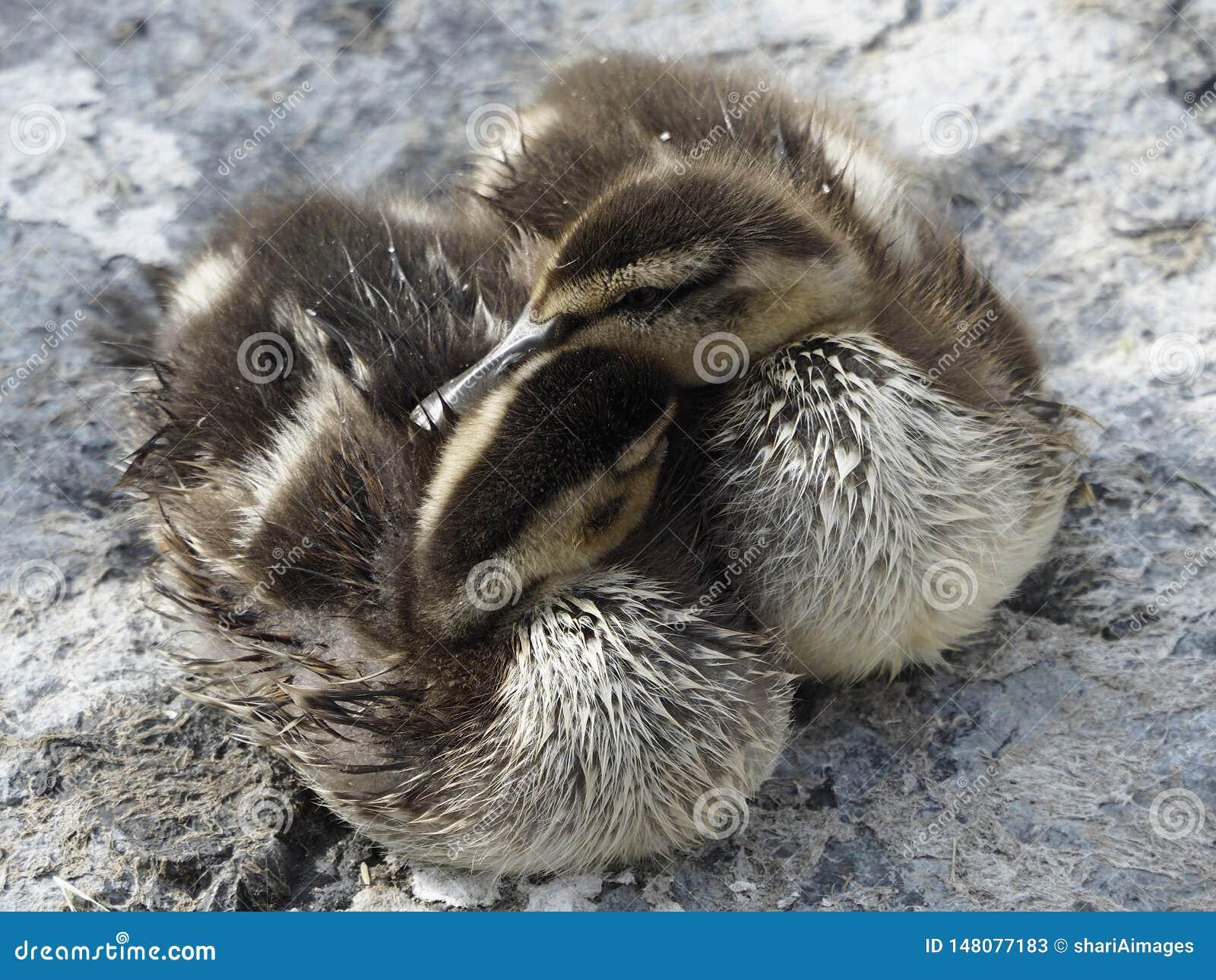 Two cute ducklings Mallard Ducks cuddled together