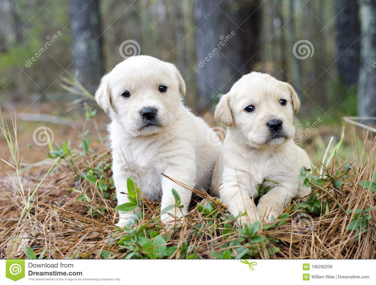 Pair Of Golden Retriever Puppies Stock Image Image Of Colored