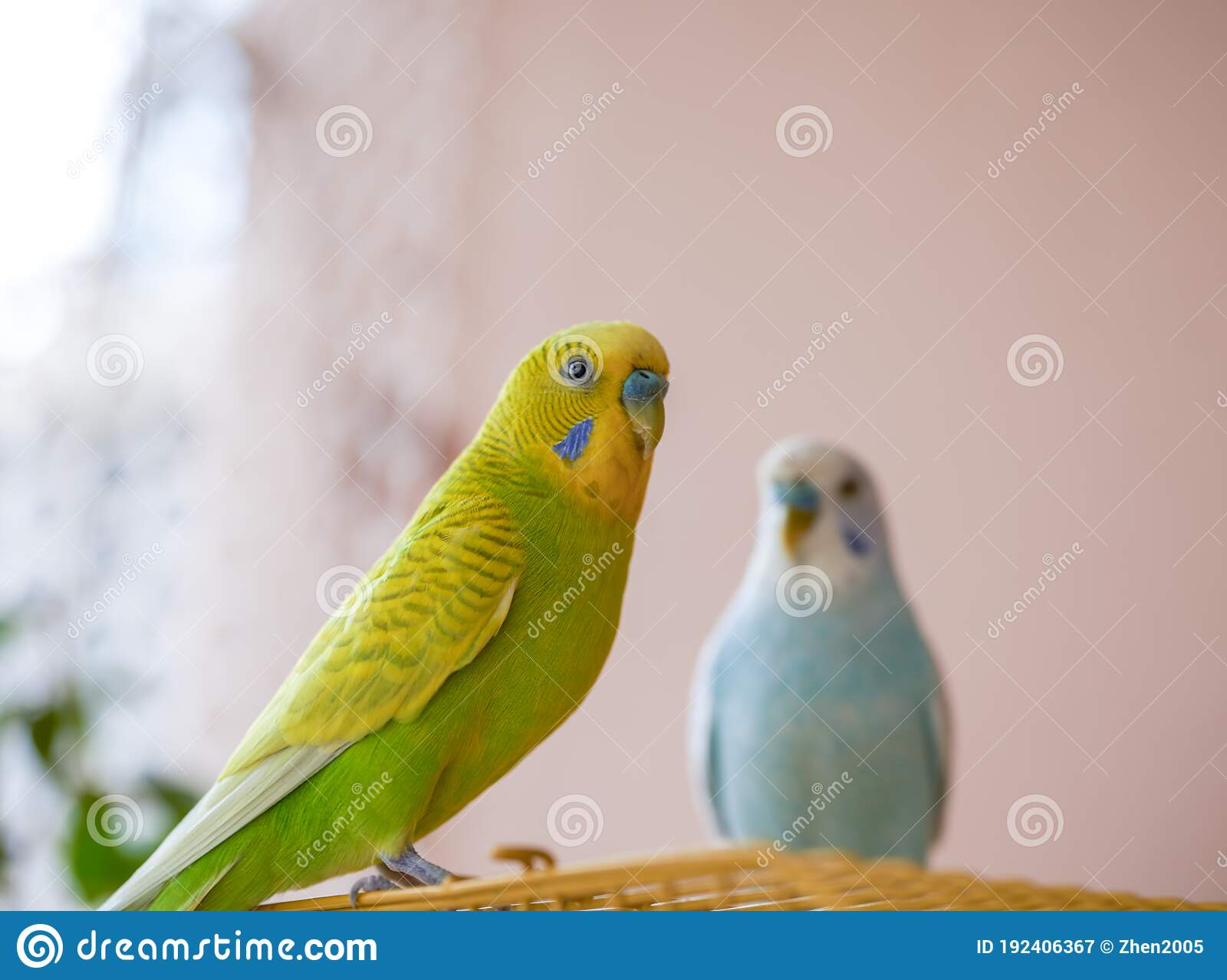 Two Cute Pet Parrots Yellow Green Parrot And Blue White Parrot Stock Image Image Of Branch Portrait 192406367