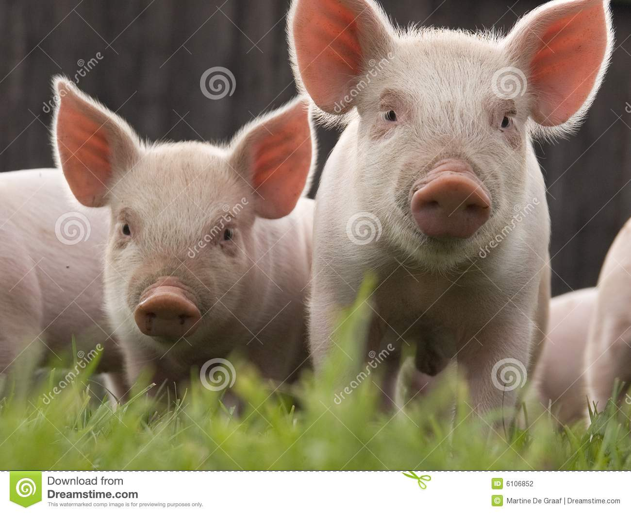 Close-up of two curious piglets on a small scale biological pig farm.