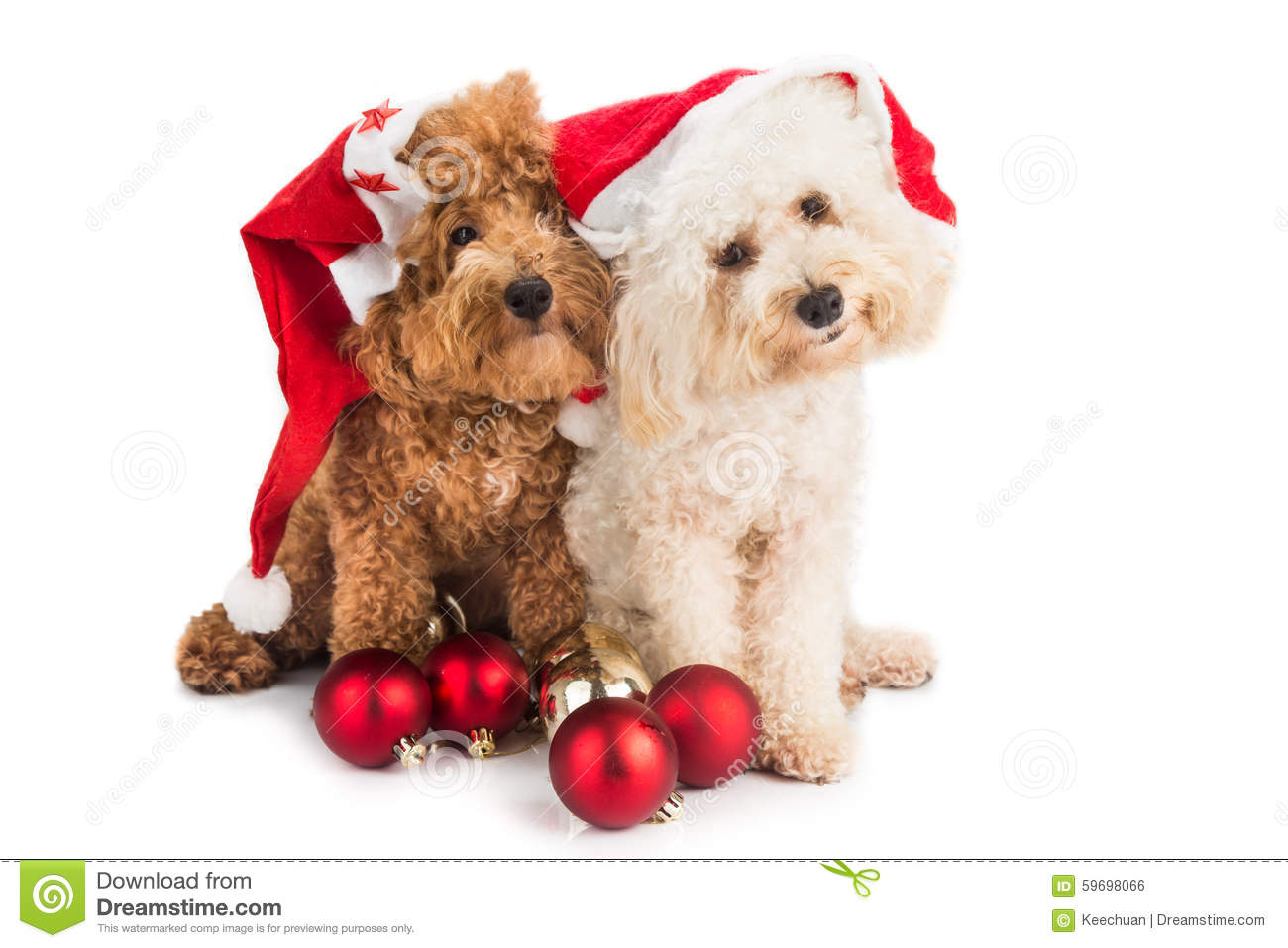 Two Cute Poodle Puppies In Santa Costume With Christmas Ornament ...
