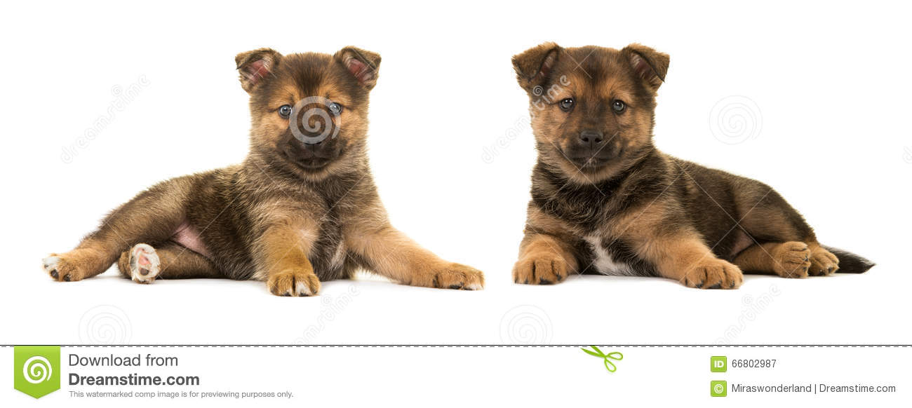 Two cute puppies pomsky