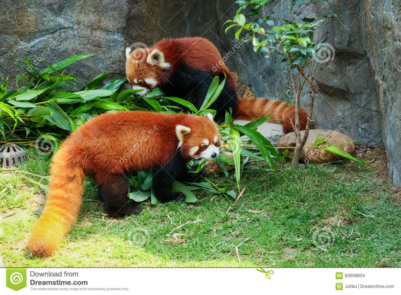 Two Cute Red Pandas Eating Bamboo Stock Photo - Image ...