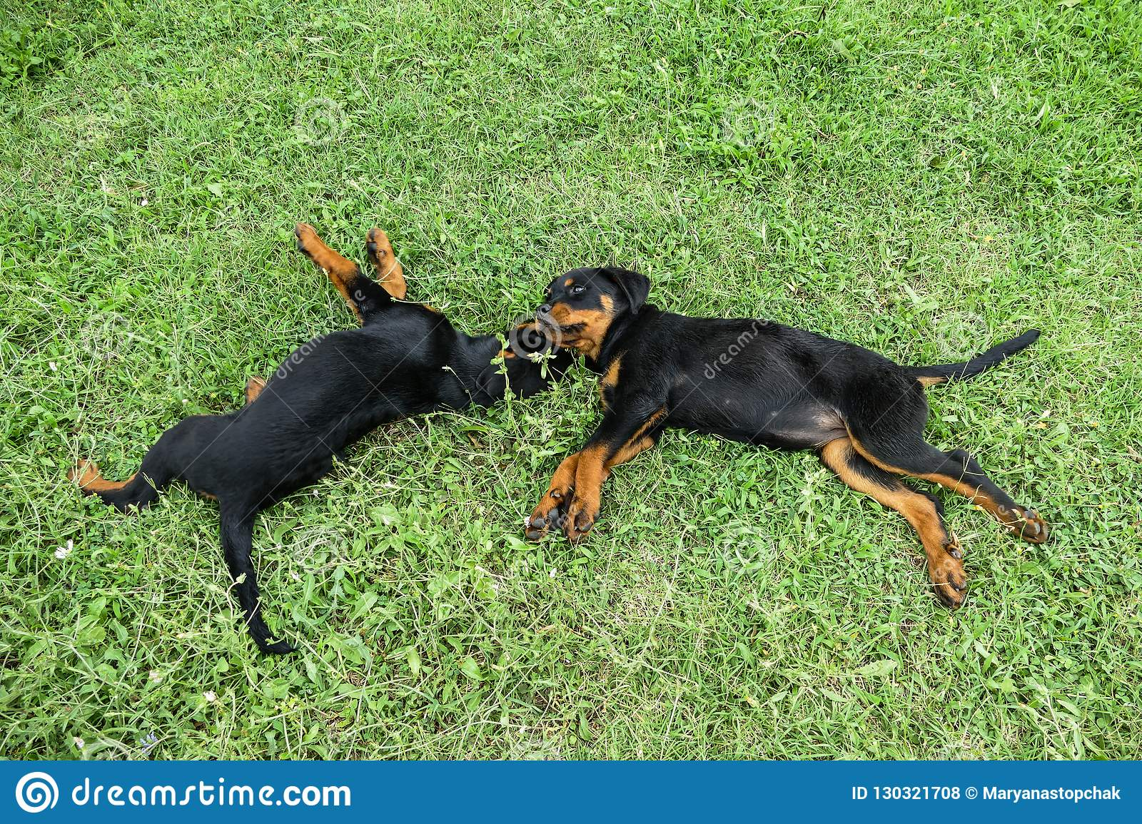 Two Cute Rottweiler Puppies Having Rest Outdoors Stock Photo Image