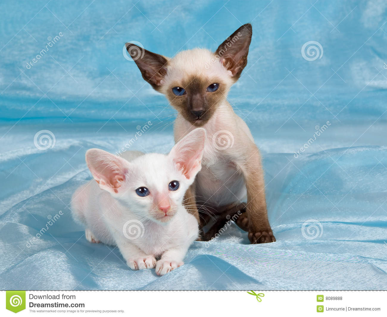 Two Cute Siamese Kittens Blue Background Stock Image