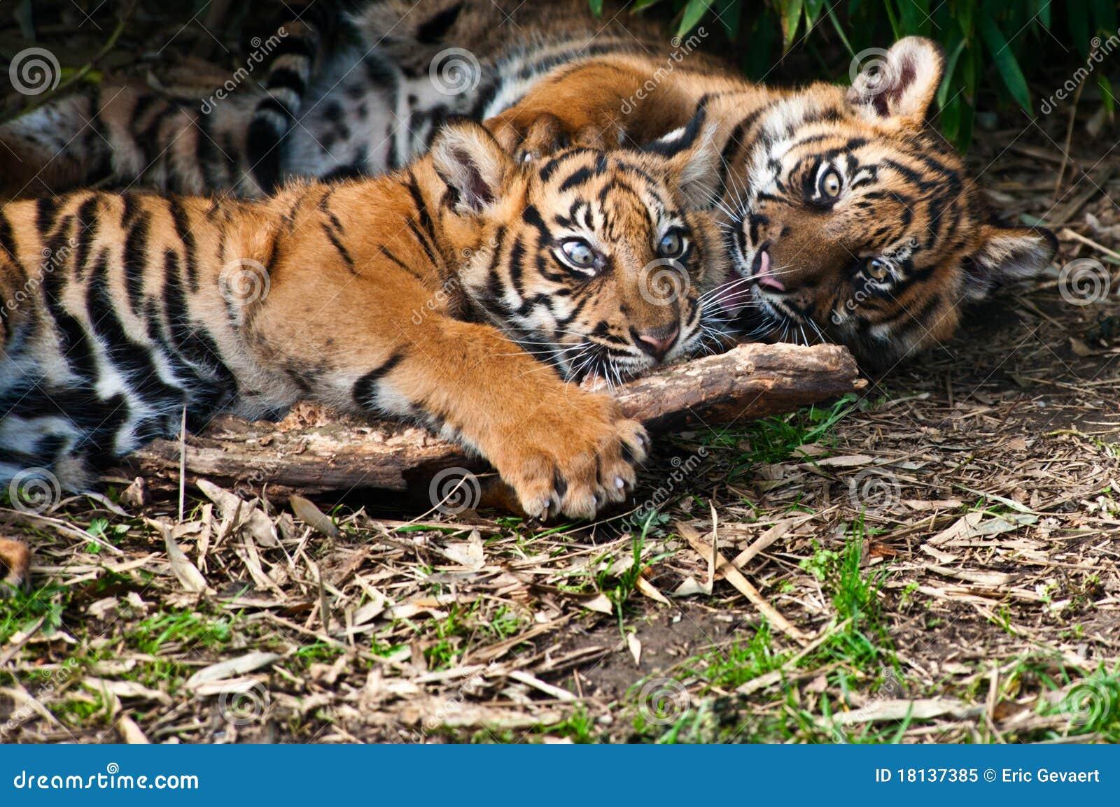 Two Cute Sumatran Tiger Cubs Playing Stock Image Image