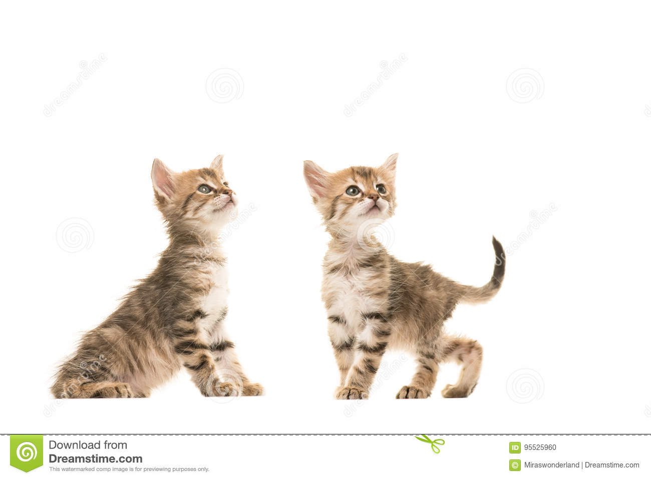 Two Cute Tabby Turkish Angora Baby Cats Standing Next To Each Other