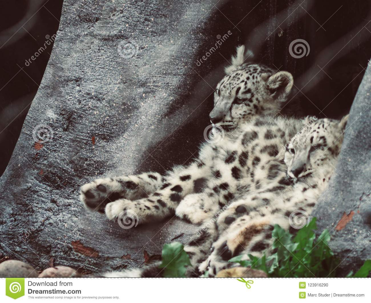 Two cute teenager snow leopard sitting and sleeping next to each other