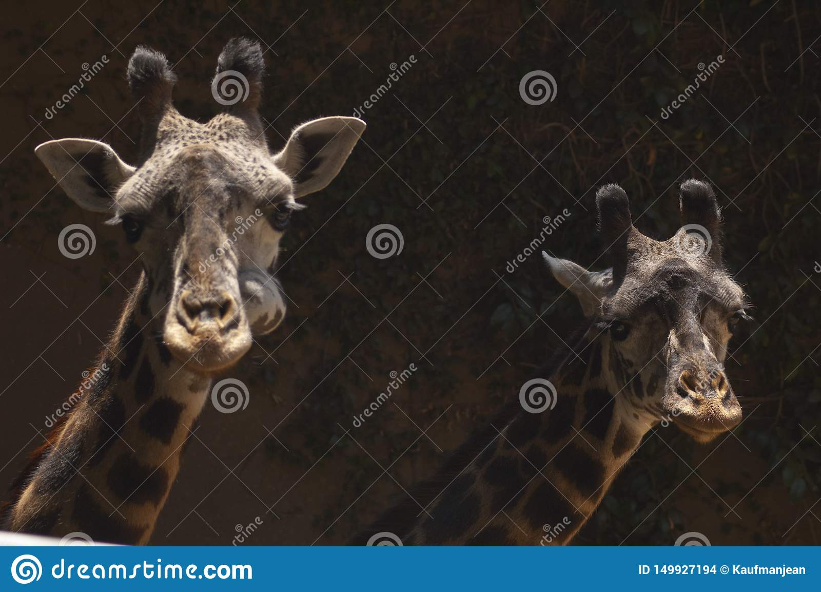 Two cute West African Giraffes look at camera - Los Angeles Zoo