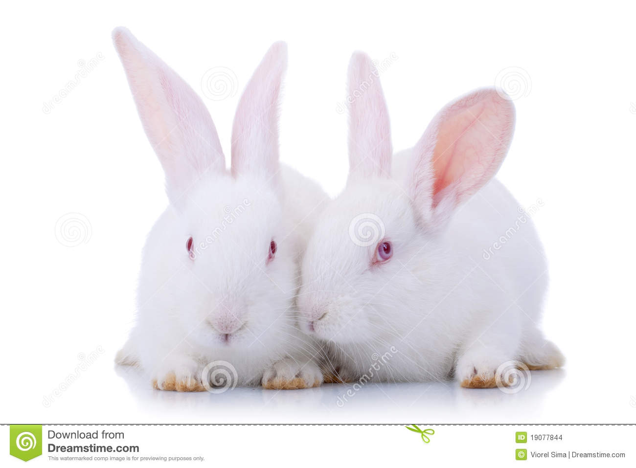 Cute White Baby Bunnies | Wallpapers Gallery