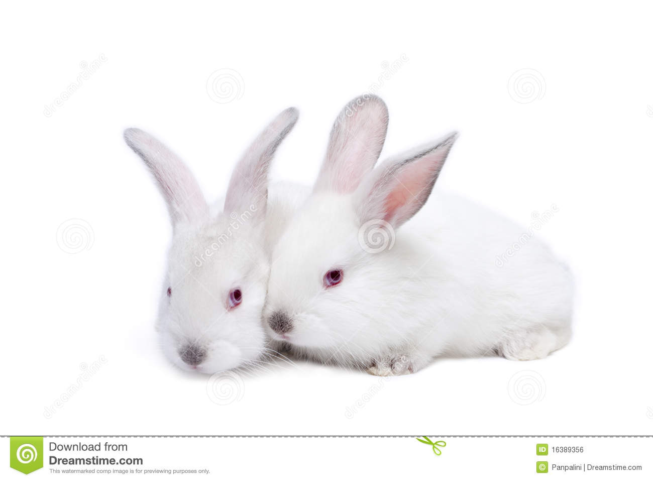 Two cute white isolated baby rabbits