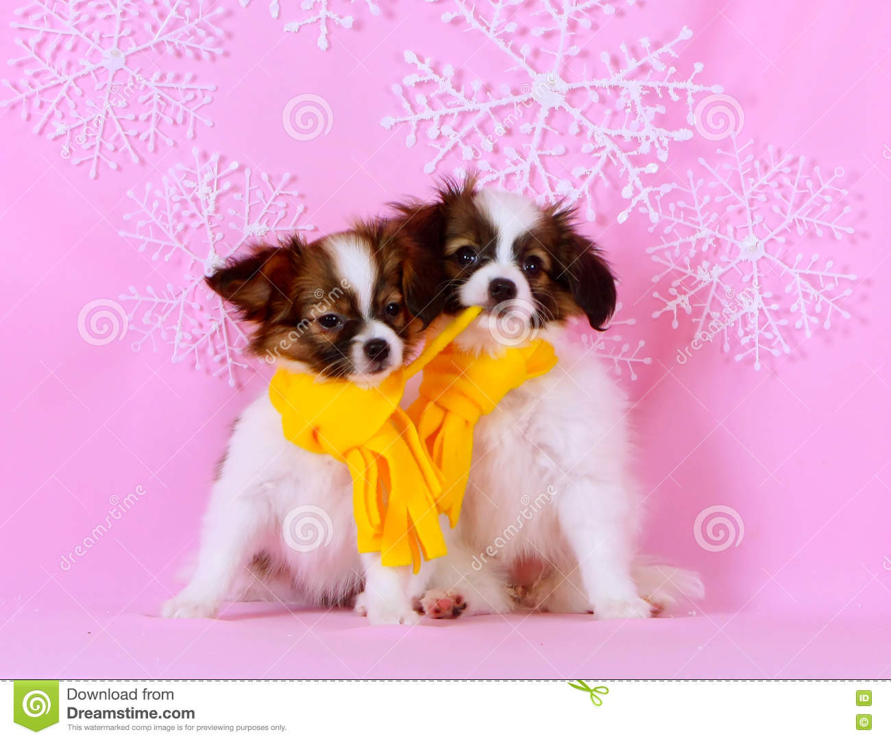 Two cute white puppy. Dogs breed Phalen.