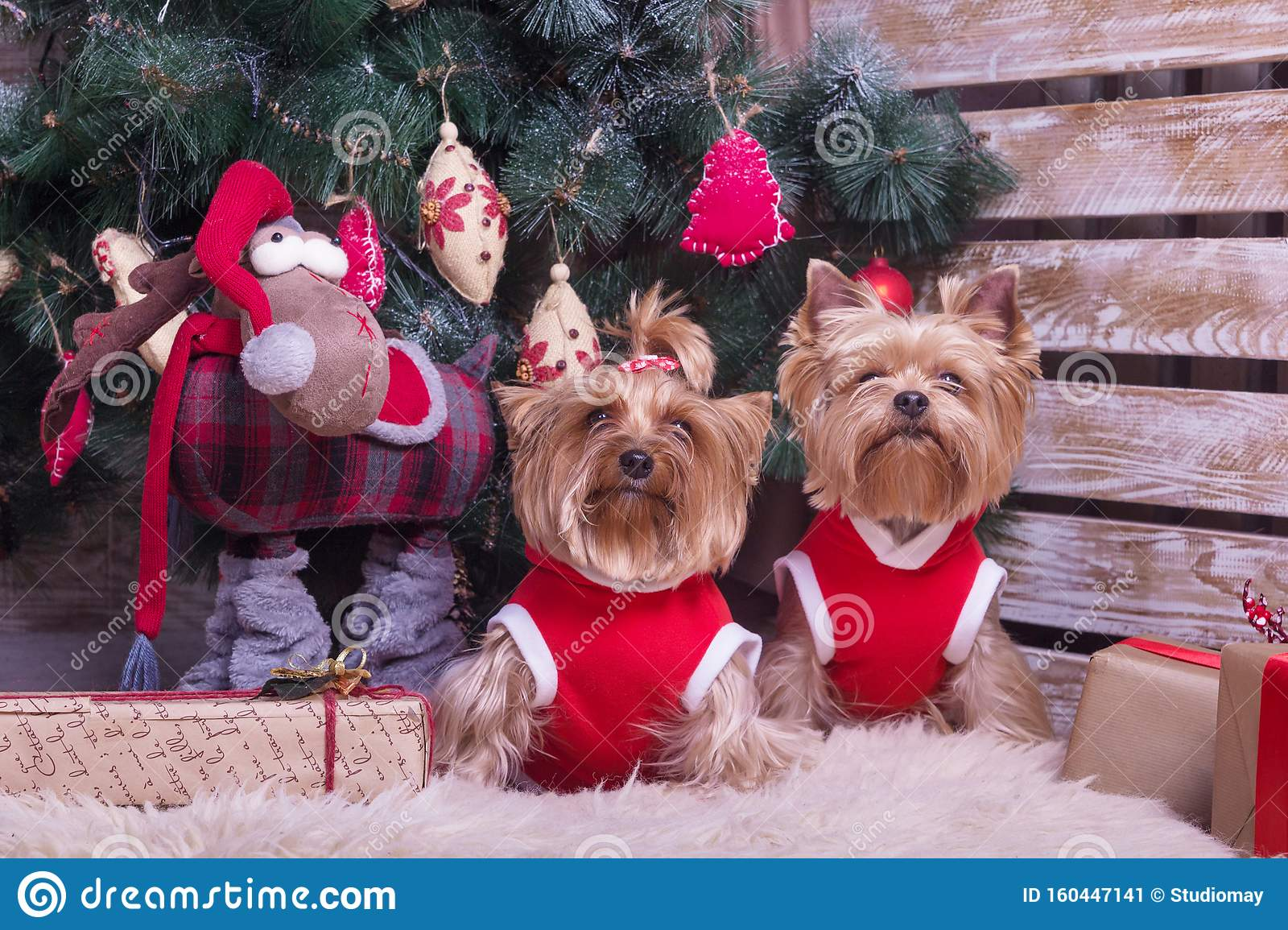 Two Cute Yorkshire Terriers Sitting Under The Christmas ...