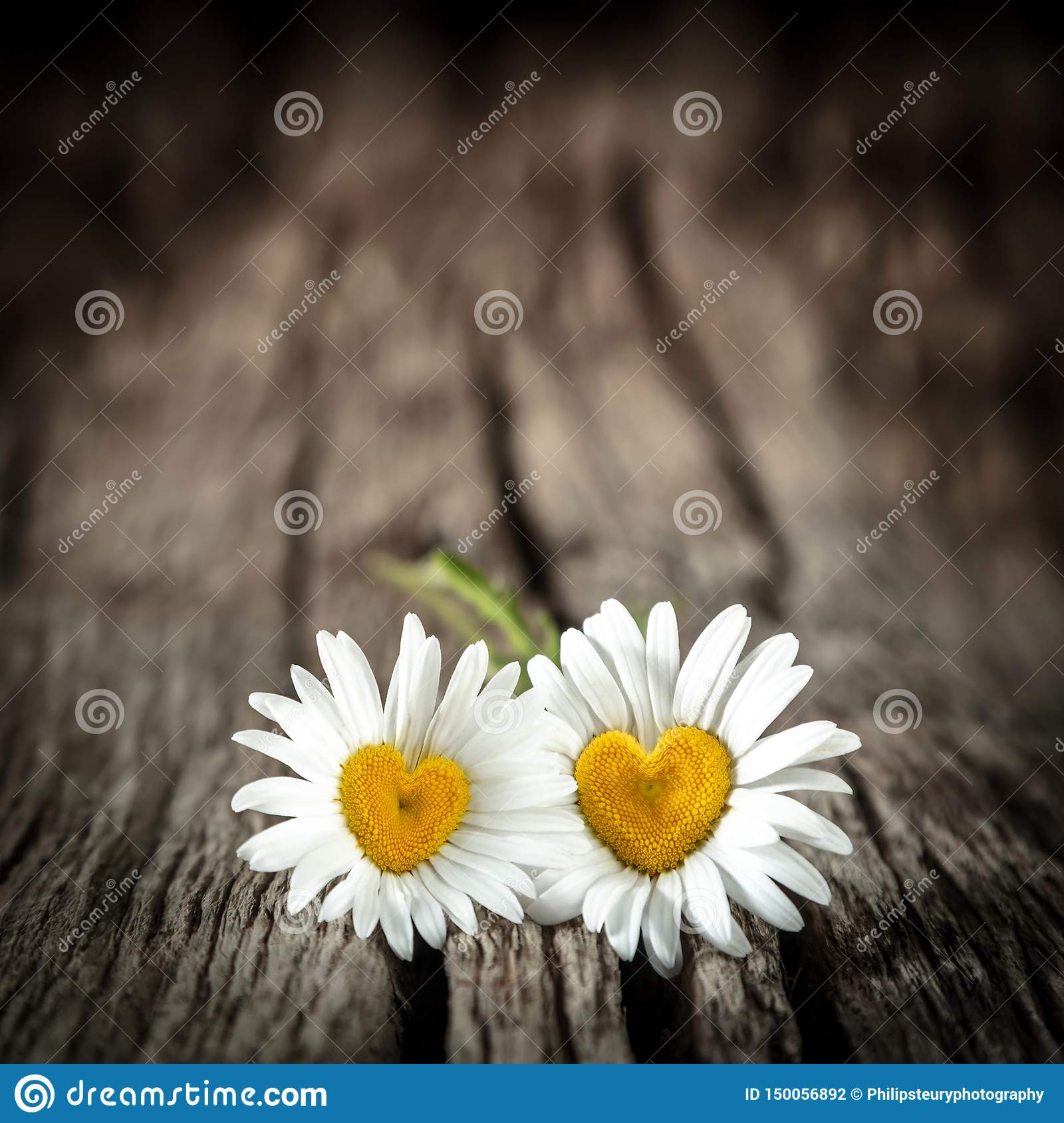 Two Daisies With Heart Shaped Centers