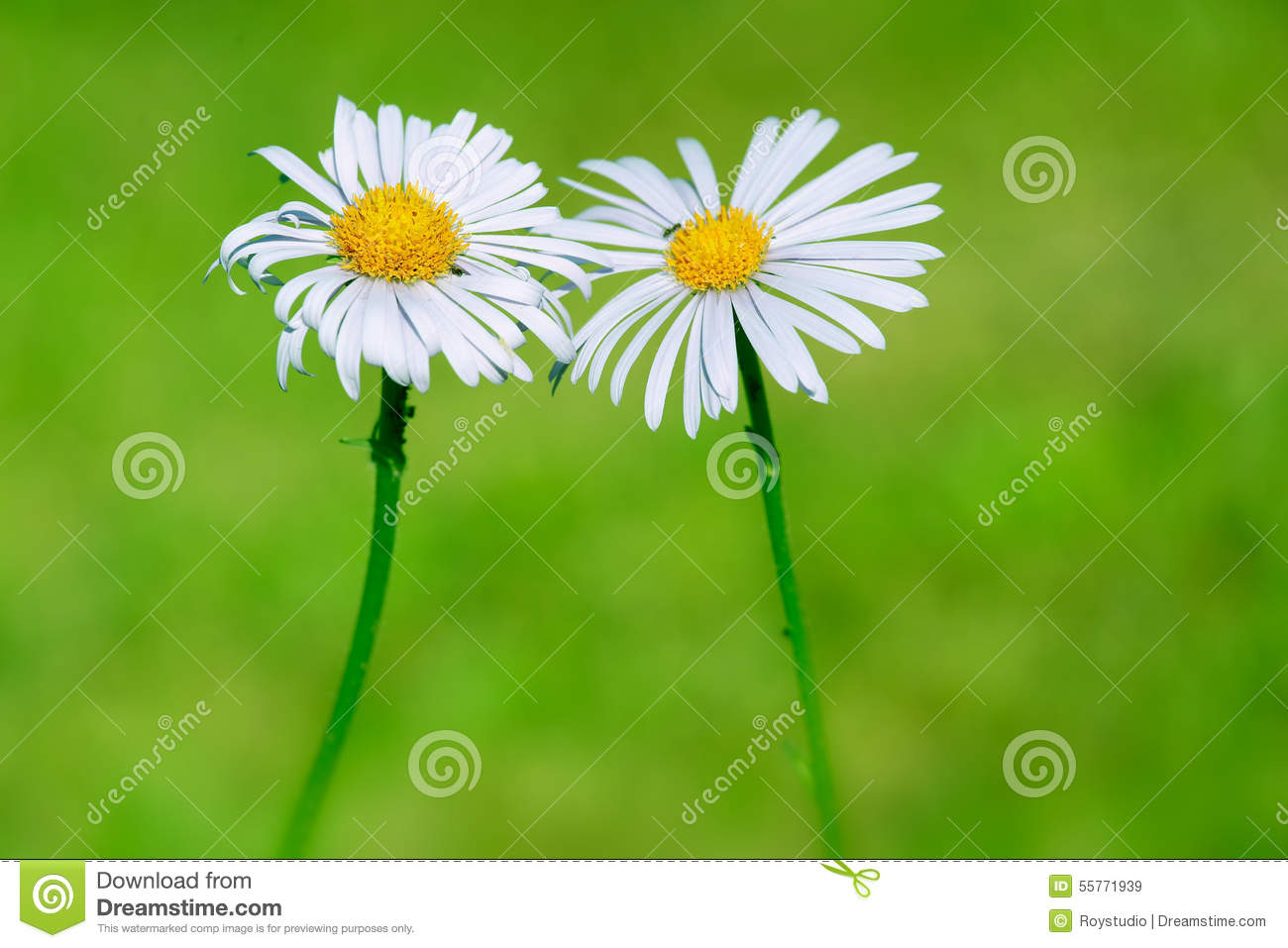 Two daisy flowers on natural green blur background love sign stock two daisy flowers on natural green blur background love sign izmirmasajfo
