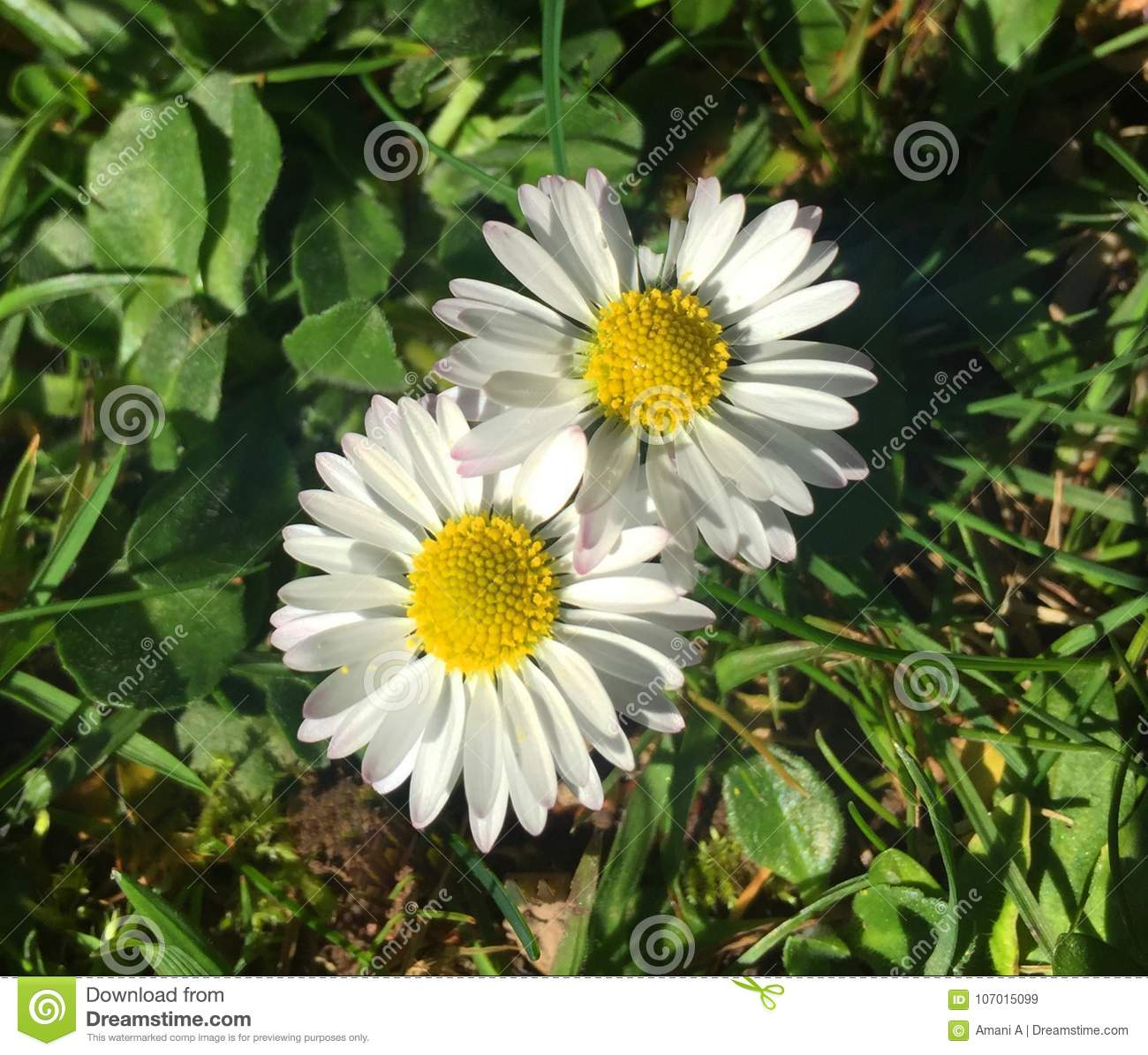 Two Daisy Flowers In Sunlight Interlocking Petals Stock Image