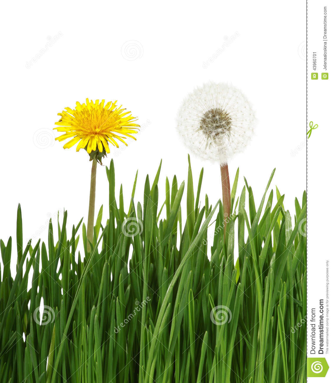 Two Dandelion In Green Grass Stock Image - Image of gray ...