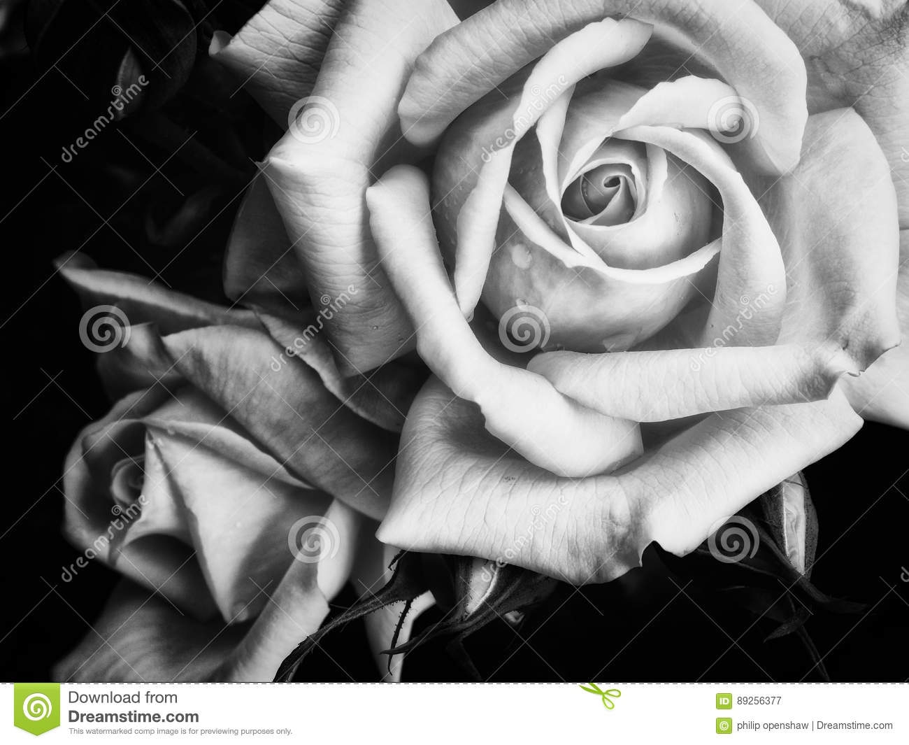 ea755c037 Two Dark Roses On A Black Background Stock Image - Image of design ...