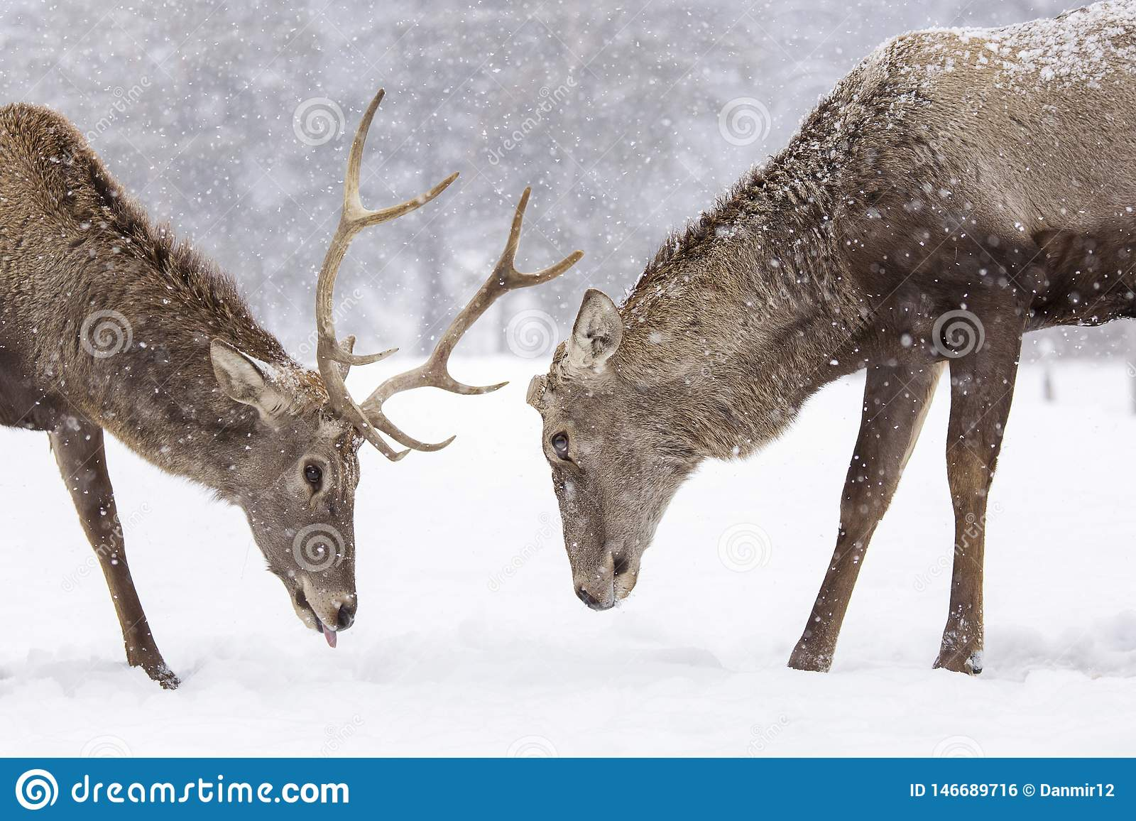 Two deers fighting in nater with forest in background in winter season and snowing