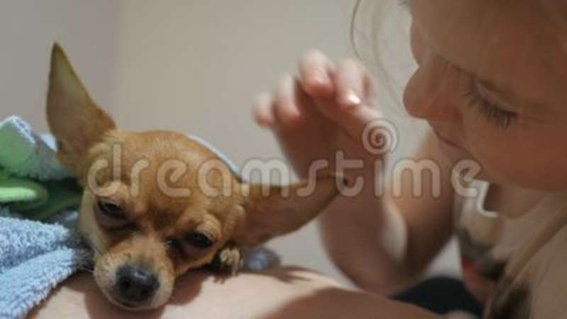 Two different dogs are very funny to dry up after a shower  Long-haired and  short-haired Toy Terrier  They`re like