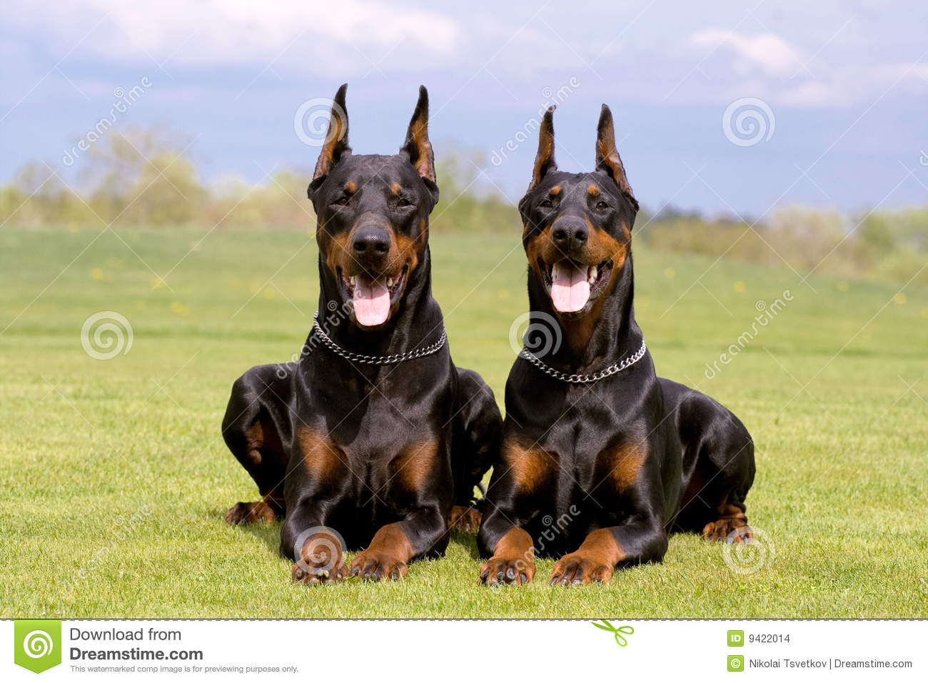 Two Dobermans Stock Photo Image Of Muzzle Dobermann