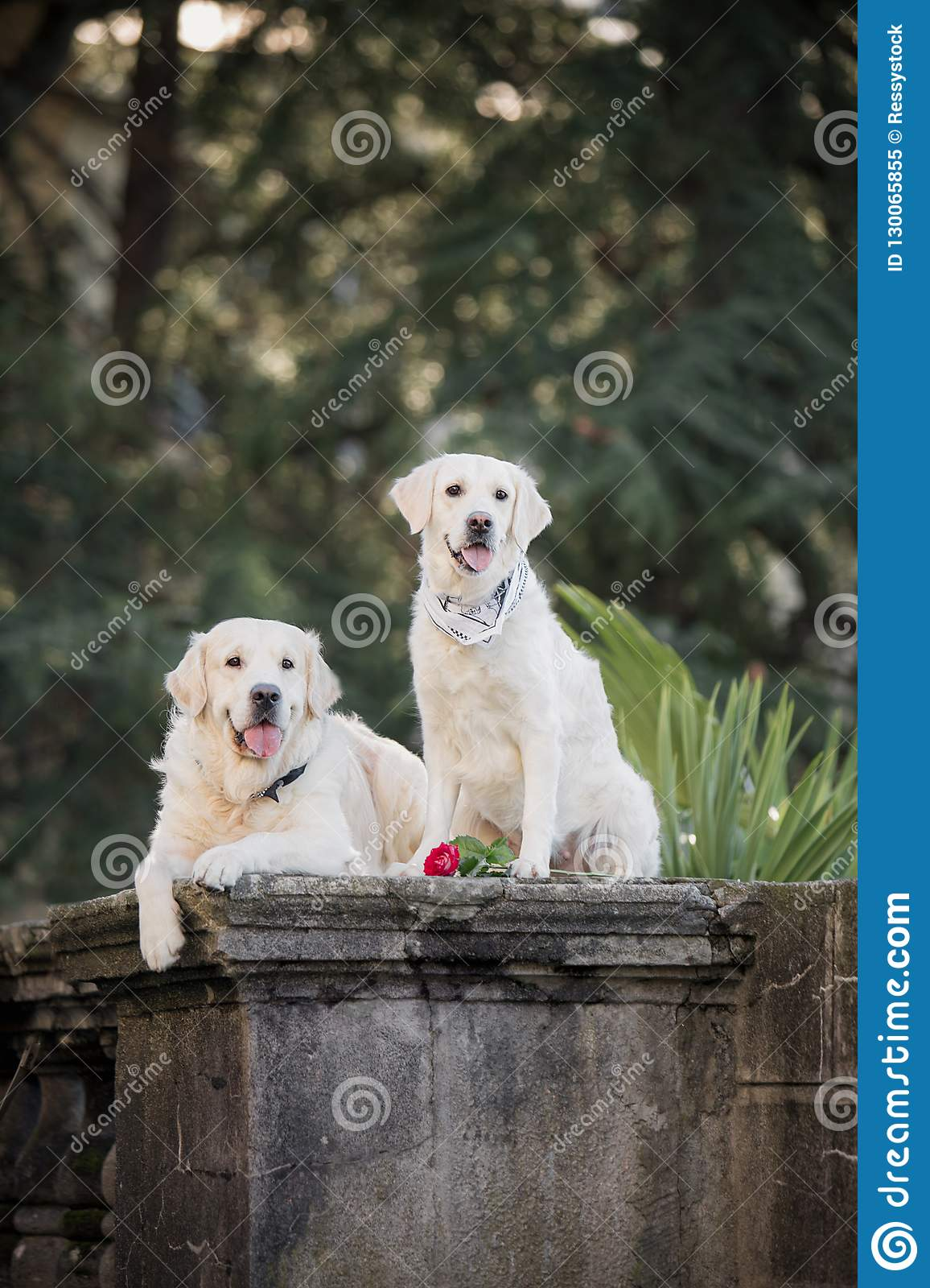 Two dogs of breed Golden Retriever, sitting on a dark background among the palm trees