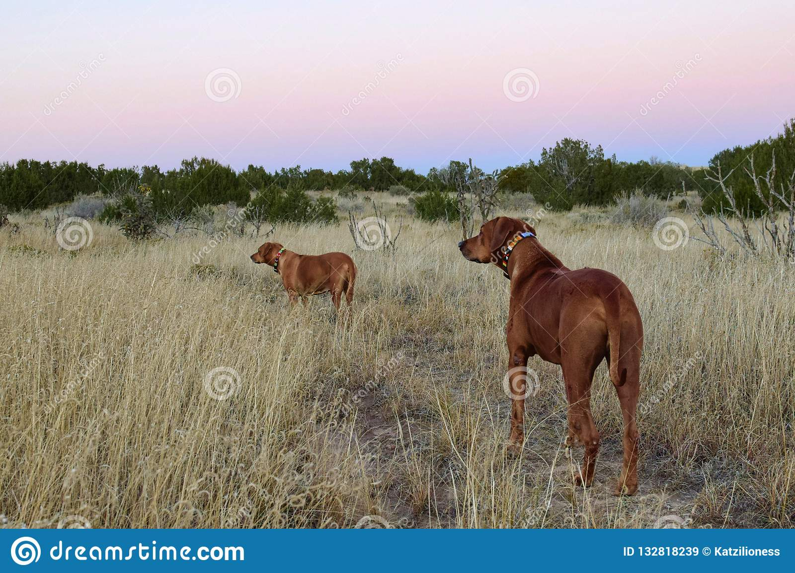 Two Rodisian Ridgebacks dogs in New Mexico high desert landscape