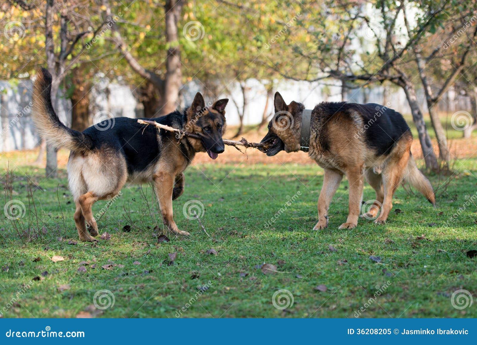 German Shepherd Dog Fight Two German Shepherd Dogs