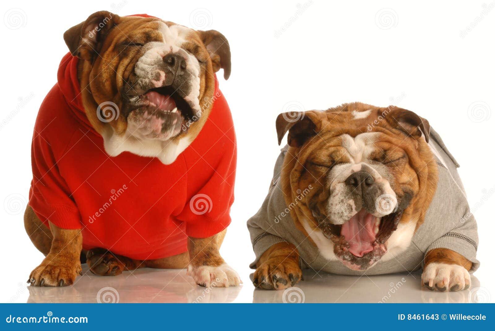 Two dogs laughing stock image. Image of couple, bulldog ... - photo#45