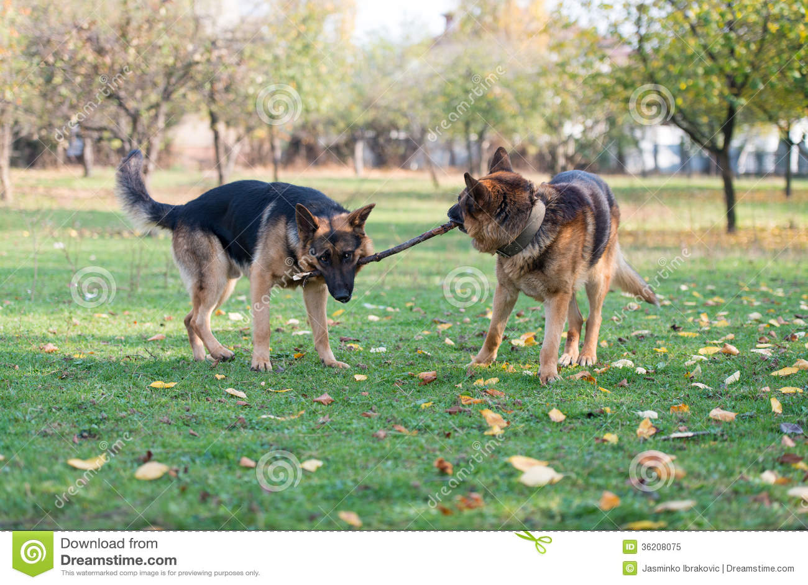 German Shepherd Dog Fight Two Dogs One Stick sto...