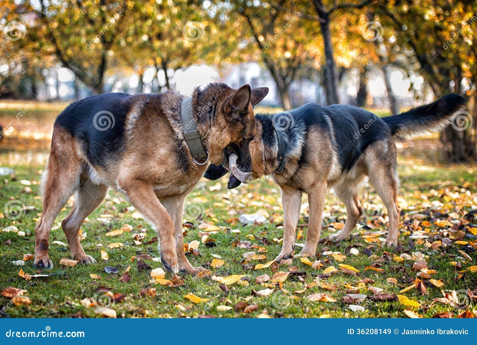 German Shepherd Dog Fight Two Dogs One Stick Roy...