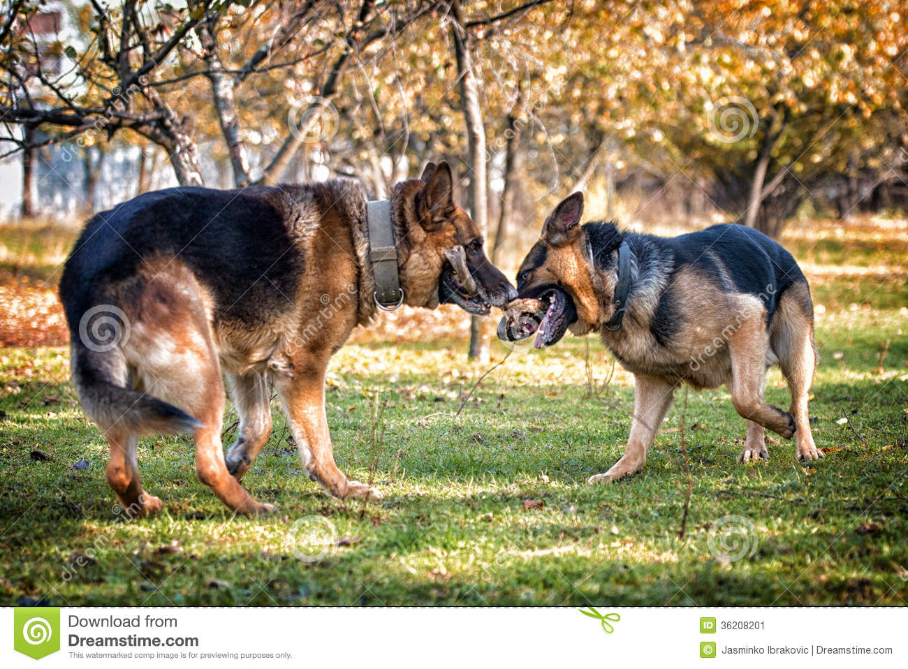 German Shepherd Dog Fight Two Dogs One Stick Stock Image