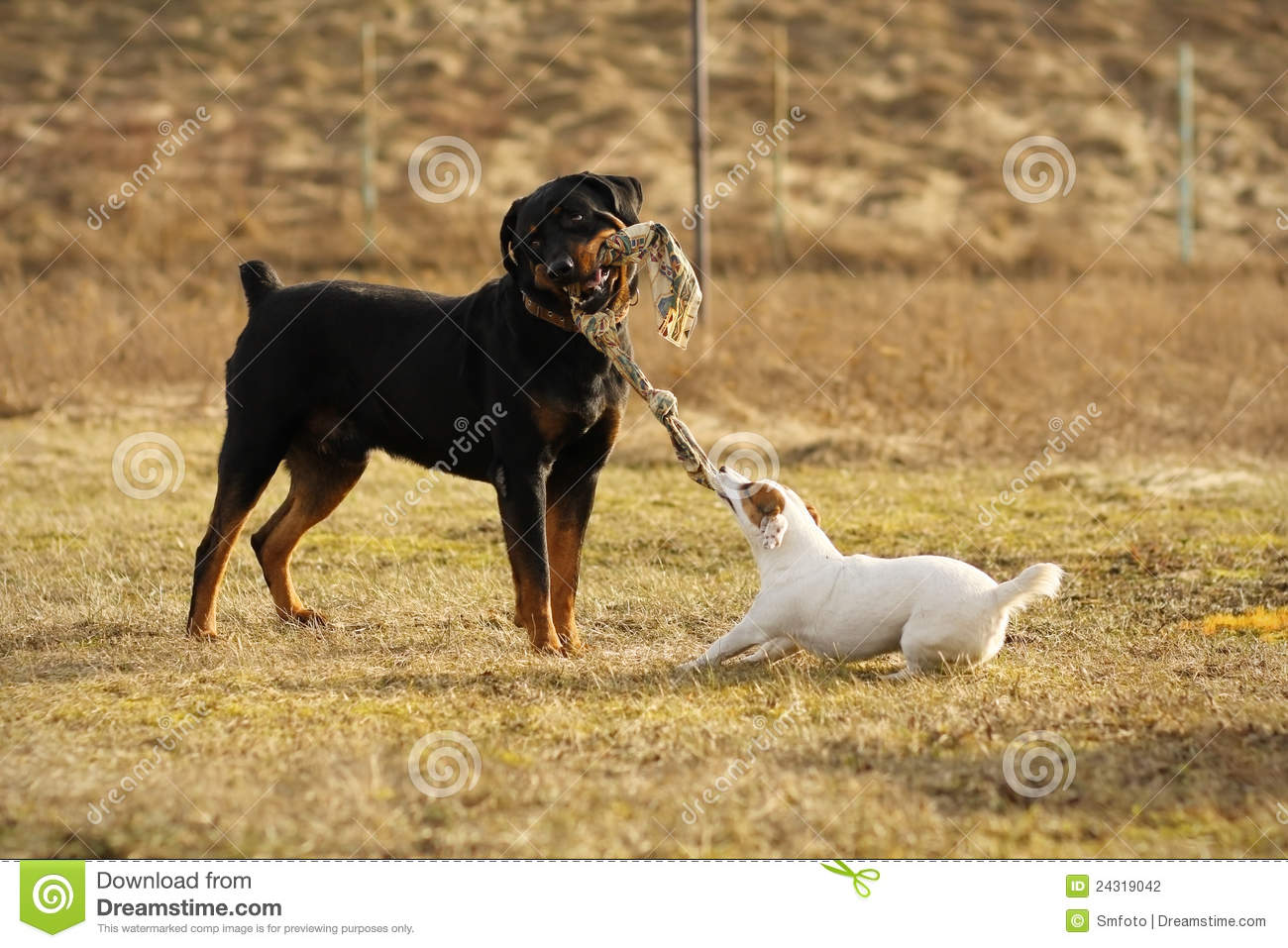 Two Dogs Playing Tug Of War Stock Photo Image 24319042