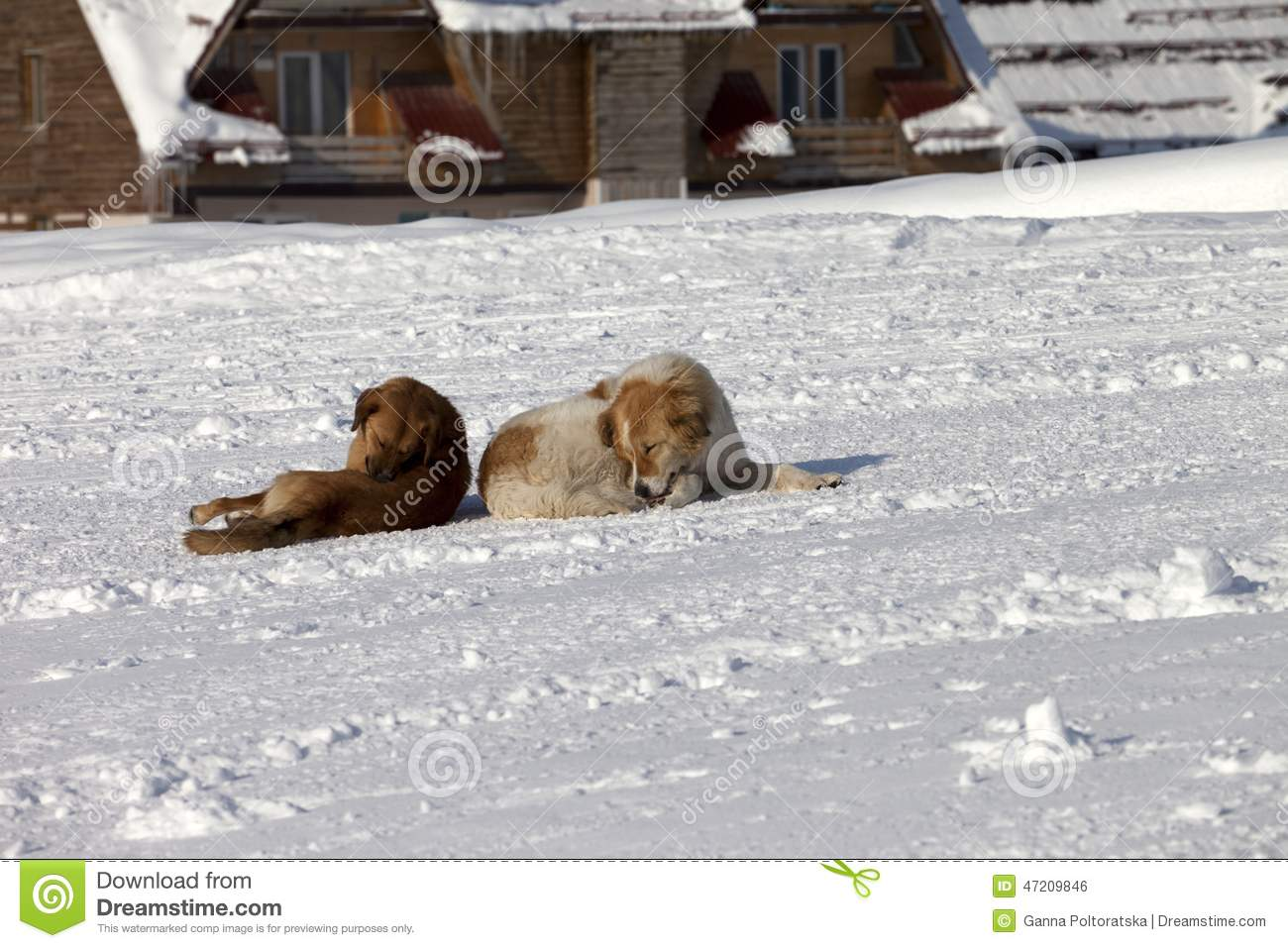 Two dogs rest on snow stock photo. Image of sleep, hotel ...