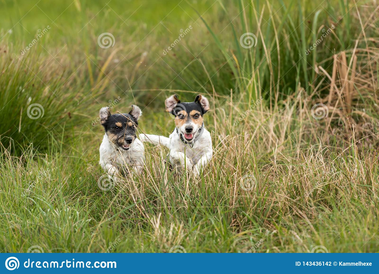 Two dogs run and play with a ball in a meadow. A young cute Jack Russell Terrier puppy with her