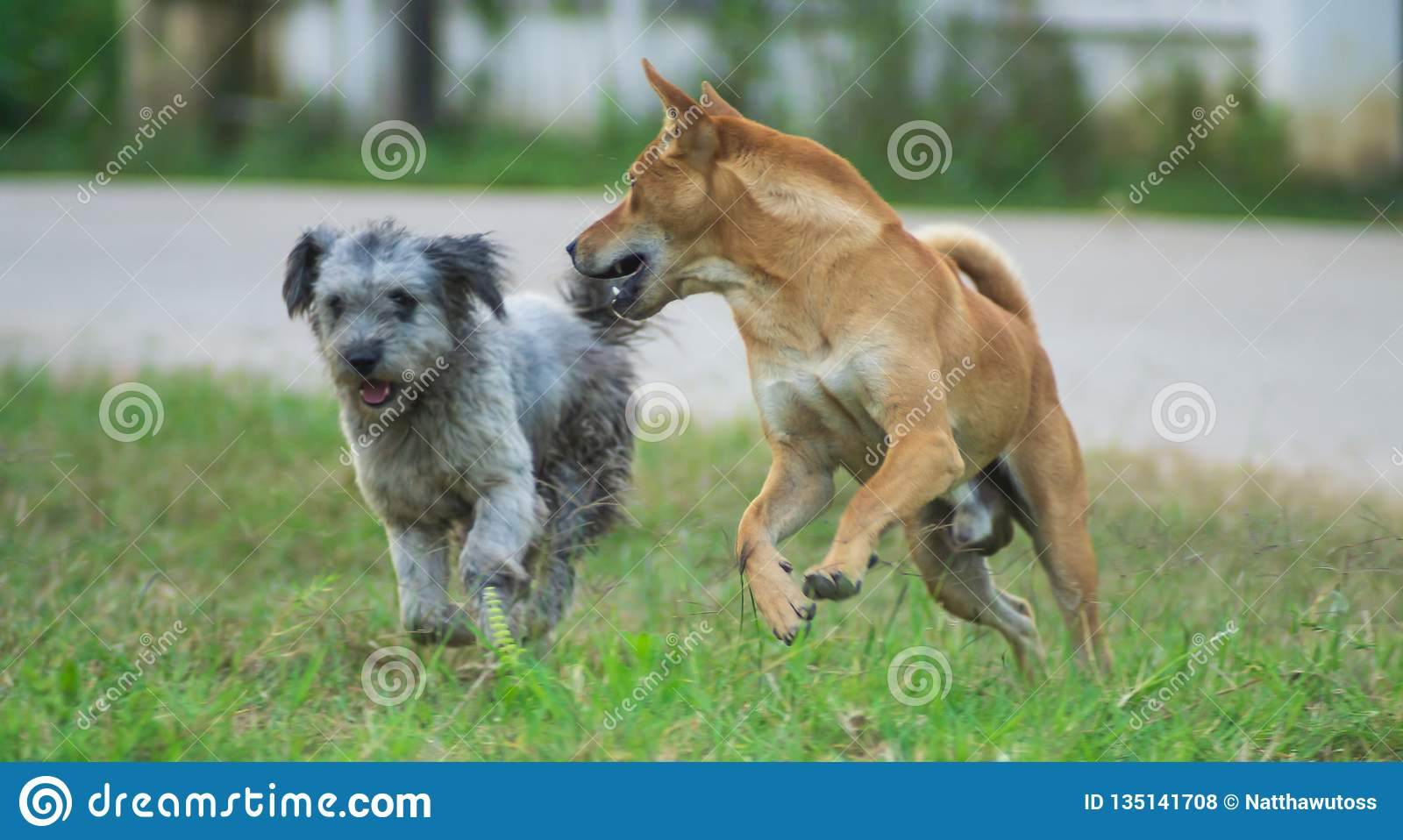 Two dogs are running on the grass