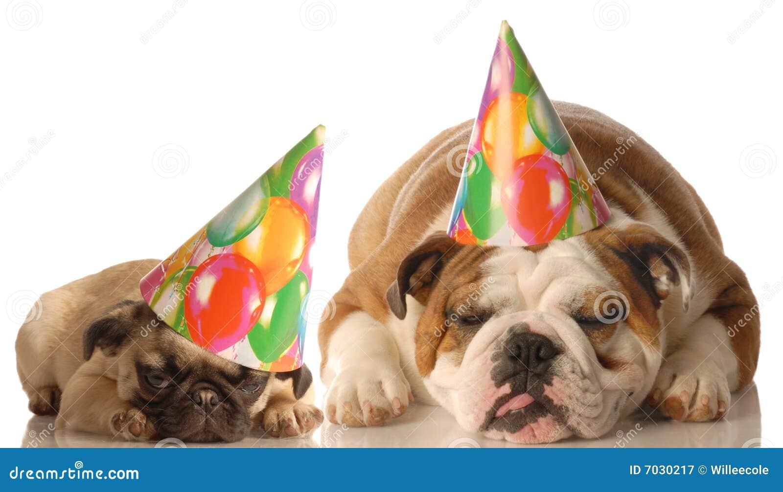 English Bulldog And Pug Puppy Wearing Birthday Hat Isolated On White Background