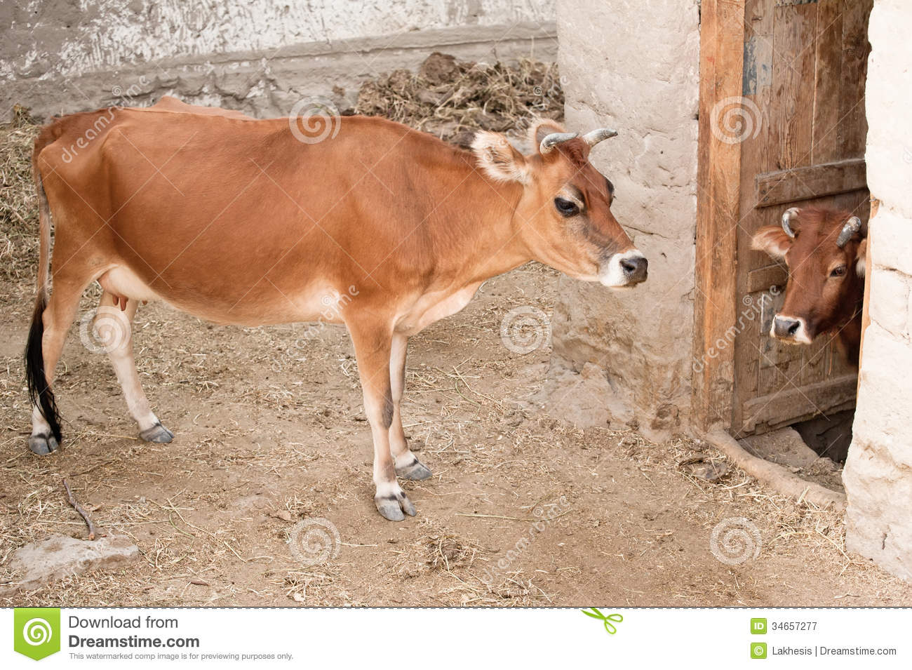 images of domestic animals cow - photo #22