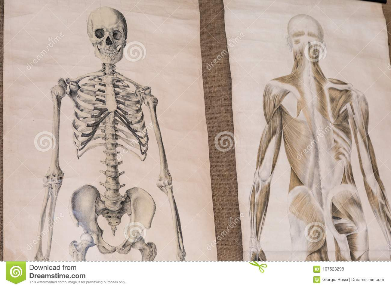 Two Drawing Of Human Anatomy: Skeleton And Torso Musculature Stock ...