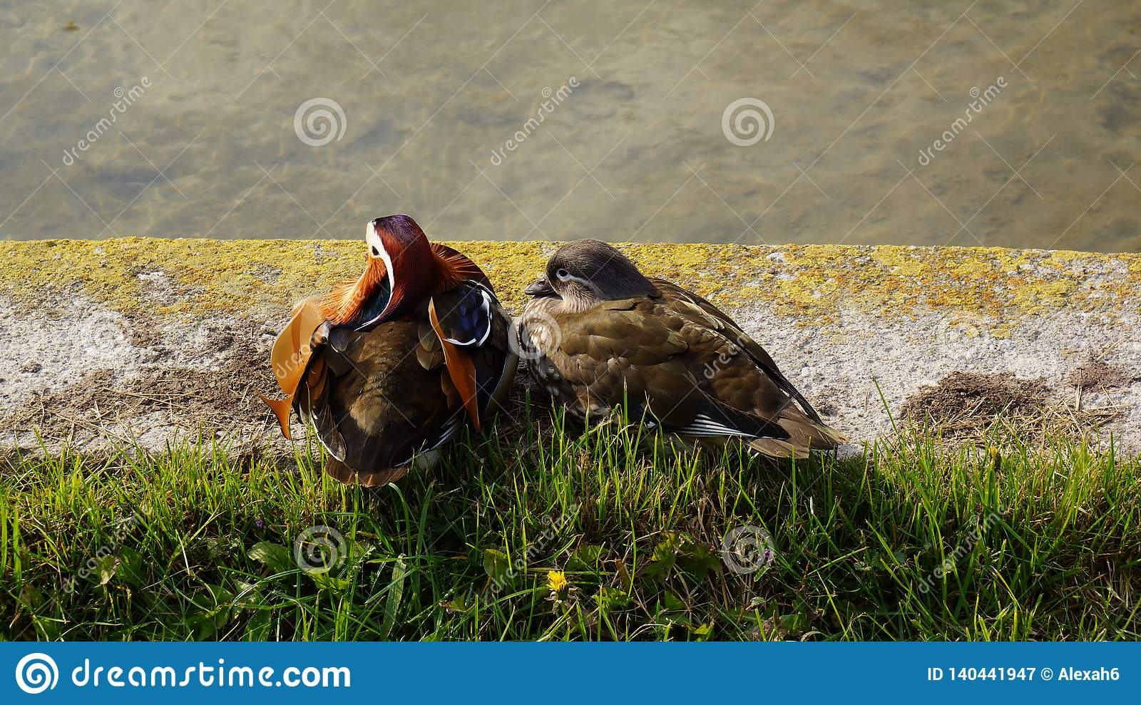 two ducks couple pair sitting in front of the lake