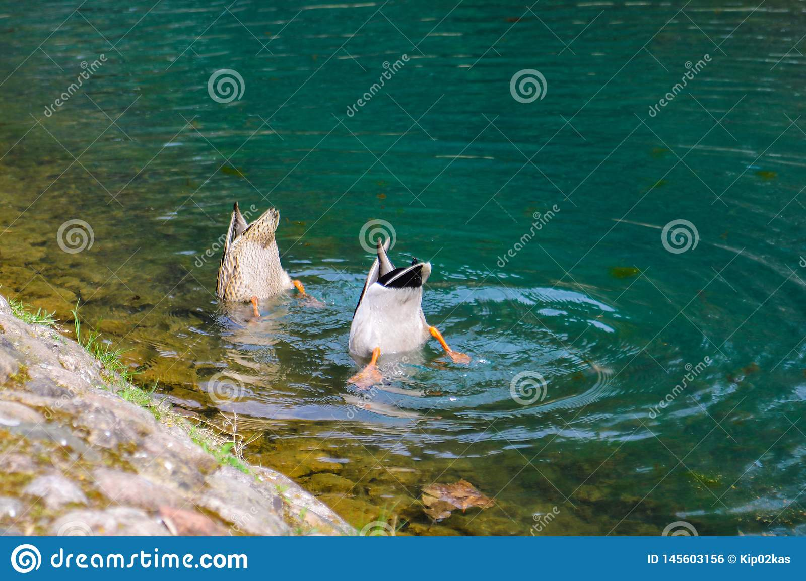 Two ducks dive into the water in search of food