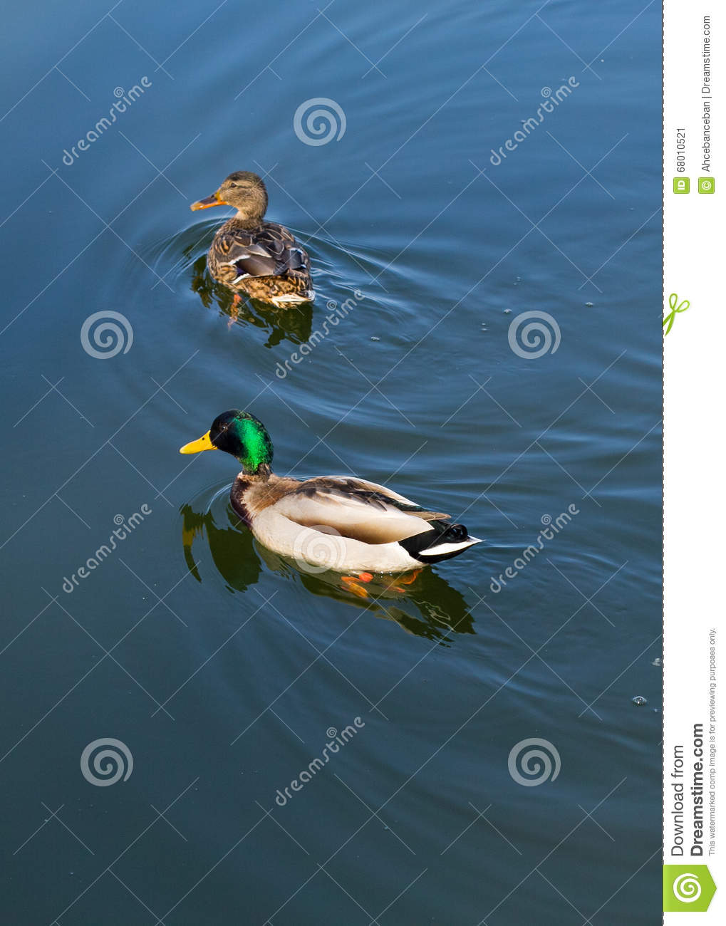 Two ducks on the duck pond in the water stock photo for Duck pond water