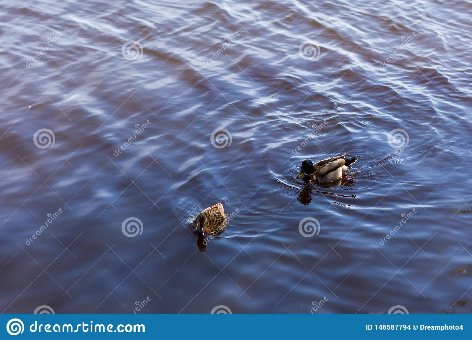Two ducks float in a pond